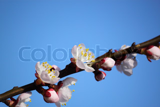 Cherry blossoms in spring on a sunny day