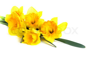 Beautiful yellow daffodils isolated on a white background.