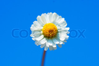 Flower isolated on blue