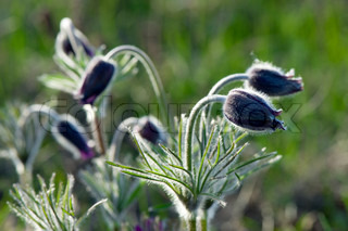 Photo of pulsatilla patens L flowers, grassy perennial, type of Family: Ranunculaceae subfamily: Ranunculoideae tribe: Anemoneae.