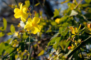 Branch of the Japanese jasmine bush with yellow flowers closup