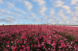 A beautiful field of pink garden ranunculus  and bright cloudy sky