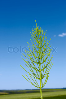 Green Field horsetail plant on the background of field and blue sky