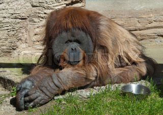 orangutan sitting on the grass in Moscow Zoo