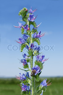 Hyssop, an attractive garden plant with dark blue flowers. Decorative, melliferous, spicy herbal