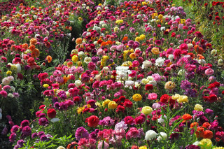 Charming field of multi-colored buttercups-ranunculus. Israel