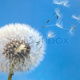 dandelion blowball and flying seeds in front of blue back