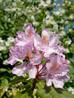 Pink Rhododendron flower with a bumble bee visiting, and jasmine in the blurred background