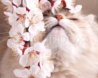Spring cat with blossoming apricot