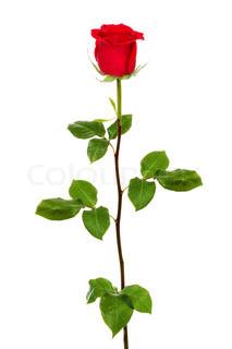 enkelt mørk rød rose isoleret på hvid baggrund