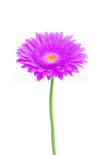 beautiful violet gerbera daisy flower isolated on white background