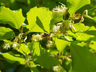 flowering beech tree in spring with green leaves in backlight