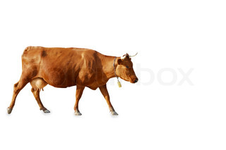 brown cow on a white background