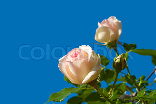 little pink roses over the sky and plants