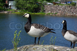 Geese sitting on the rock by little pond on the island Suomenlinna, Finland