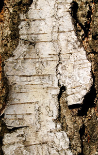 Crust layer of the birch