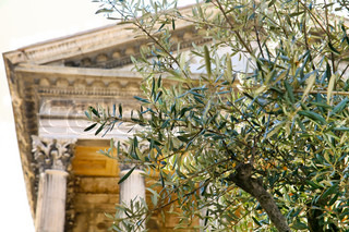Old olive tree and  Roman temple on background (Maison Carree,Nimes, France)