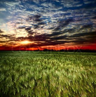 sunset over a field of wheat