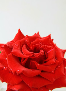 beautiful rose with water drops - symbol of love and passion