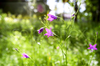 beautiful purple wildflowers in the grass on a summer day