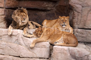 The male lion and two lionesses resting on the rocks