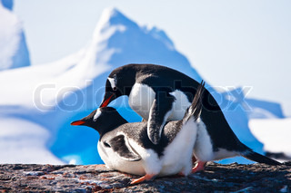 Two penguins make love on a rock, mountains in the background