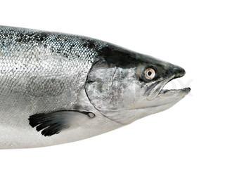 Lachs Fisch hautnah, isoliert auf weiss