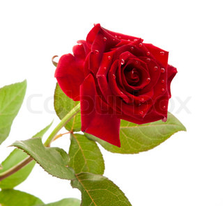 dark red rose with drops on white background