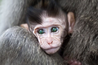 Close up of baby macaque monkey face