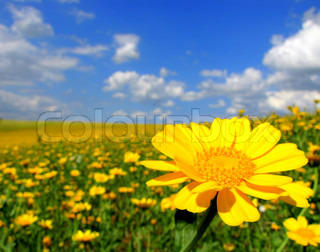 Yellow flowerfield and blue sky, fantastic summerpicture