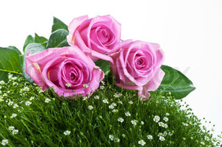 pink roses on green grass isolated on a white background
