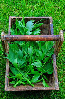 Fresh lovage in a wooden tray