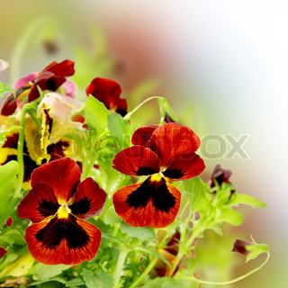 Beautiful Floral Pansy Flower Border Square Card