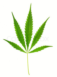 One hemp (marijuana) leaf isolated on white.