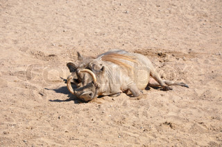 Wild boar with tusk  on sand