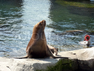 A sea lion swimming in icy water.