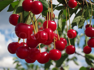 Red cherries on a tree branch