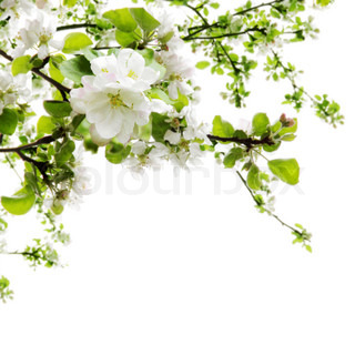 Spring Apple Tree Blooming Branches Border over White