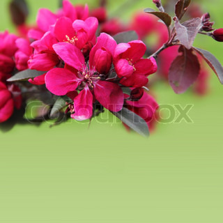 Pink Apple Blossom Border over Green Very Shallow DOF
