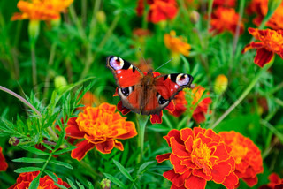 Butterfly (Saturnia) emperor moth on marigold - orange medicinal flower