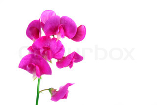 sweetpea flower with copy-space isolated on white