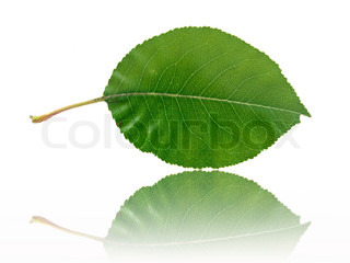 A leaf isolated against a white background