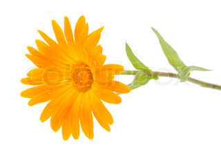 morgenfrue blomst på en hvid baggrund