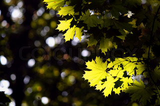 Maple leaves illuminated by the sun's rays in the park