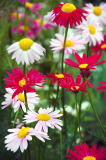 Red and white pyrethrum or chamomile flowers in garden