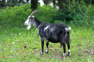 goat grazing on a background of trees