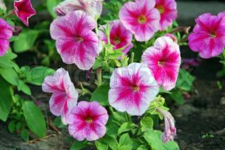 Smukke blomsterbed med mange lyse violette petunier