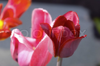 close up tulip flowers with water drop. Three different flowers