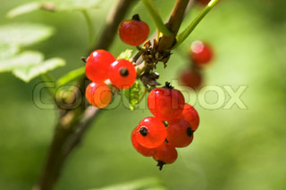 close up photo of red currant berry