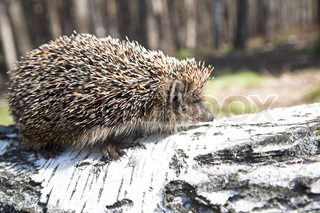 little animal - hedgehog on the birch log